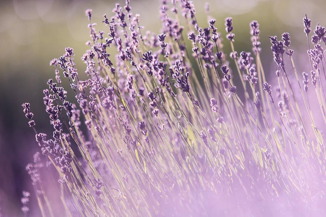 La lavande est l'une des plantes qui éloignent les moustiques.